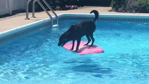 Athletic Labrador uses wakeboard to fetch ball from pool