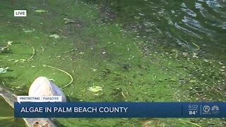Algae spotted in C-51 canal in Palm Beach County