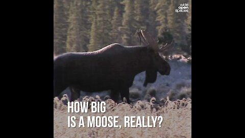How Big is a Moose, Really?