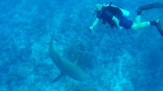 Scuba divers have mixed reactions when sharks circle and bump them