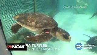 Sea turtles washing up dead, sick on Sanibel and Captiva islands; possibly due to red tide - Video