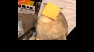 Cat Heads Face-First Into Viral Cheese Challenge