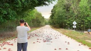 Epic migration of red crabs in Australia
