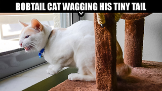 Bobtail Cat Wagging His Tiny Tail - Video