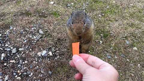 """Ground Squirrel is Very """"Hoppy"""" to Receive Tasty Carrot from Local Visitor"""