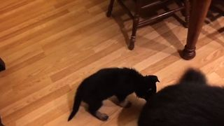 German Shepherd Puppy Tires Out Big Brother