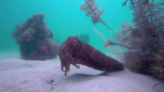 Rare Footage of Feeding Cuttlefish Captured Off Australian Coast - Video