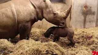 White Rhino Birth Livestreamed by Copenhagen Zoo - Video