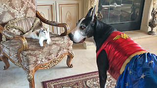 Cat Checks Out Great Dane in Wonder Woman Costume