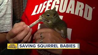 Baby squirrels getting rehabilitated after Hurricane Irma knocked them from trees - Video
