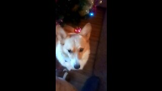 Corgi is waiting for Santa