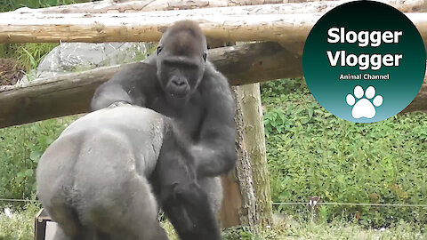 These squabbling silverback gorillas delight everyone at the zoo