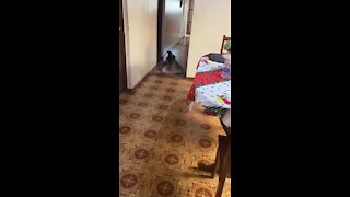 Helpful pup removes rugs so owner can pass through with wheelchair