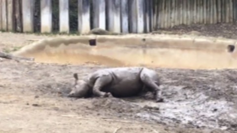 Cincinnati Zoo's Black Rhino Calf Rolls in the Mud