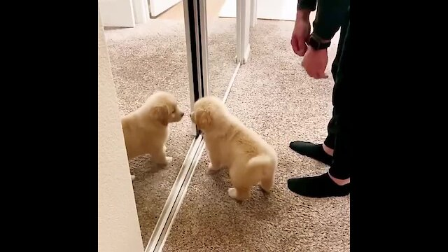 """Golden Retriever puppy very ecstatic to find a new """"friend"""""""