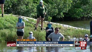 Three manatees rescued after getting stuck in a retention pond