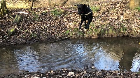 Dog jumps over river with massive stick in mouth