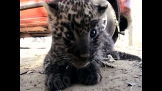 Stray Leopard Cub - Video