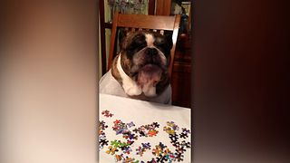 Bulldog Gets Frustrated By Puzzle