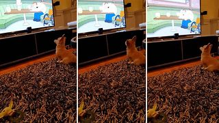 Adorable pup loves watching family guy - Video