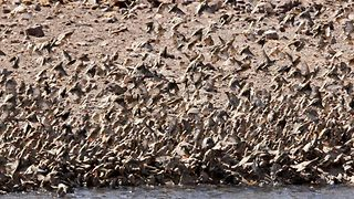 Incredible footage shows birds swarming to drink from watering hole