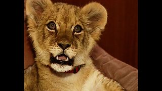 Lady Lives With Lion - Video