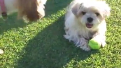 Puppy bullied by bigger dogs, bravely holds his ground