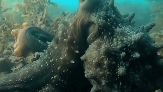 Octopus Attempts to Grab Free Diver's Camera