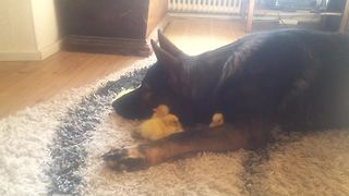German Shepherd preciously watches over baby ducks