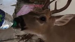 Thirsty Key deer drinks 4 bottles of water from Broward Co. firefighter - Video