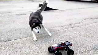 Cute Siberian Husky Takes Mercy on RC Car