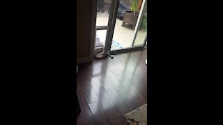 Pup fails at trying to steal owner's shoe through doggy door
