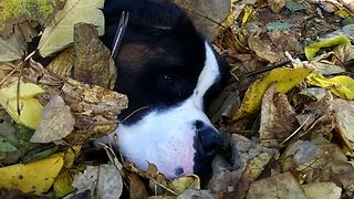 Saint Bernard Fails At Hide And Seek
