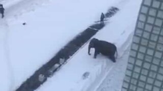 Circus elephant on the loose has snow trouble!