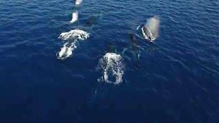 Awe-striking footage shows incredibly rare humpback whale heat run