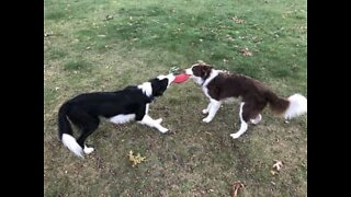 Dogs fight over a Frisbee