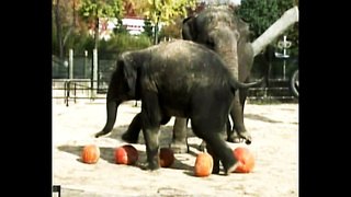 Elephants Stomp On Pumpkins - Video