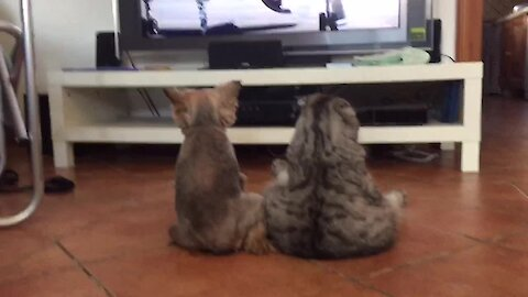 Dog & cat sit like humans to watch TV together