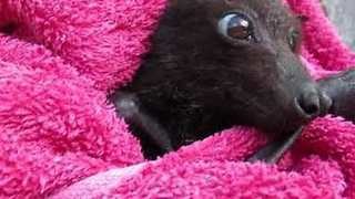 Young Flying Fox Recovers After Rescue From Barbed Wire Fence - Video