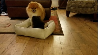 Pomeranian and puppy have epic battle for bed dominance