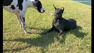 Playful Great Danes Have Fun Sharing A Stick