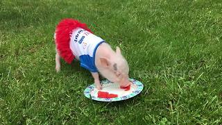 Miniature pig tries watermelon for the first time – and adores it - Video