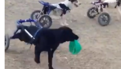 Rescue Dogs in Wheelchairs Play Adorable Game of Tag at Moroccan Animal Shelter