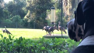 Bird-watching Great Dane observes wild turkeys through window