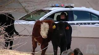 Cattle loose on Tulsa highway after crash - Video