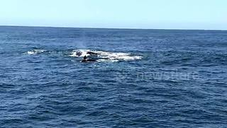 Dramatic video captures orcas attacking baby gray whale