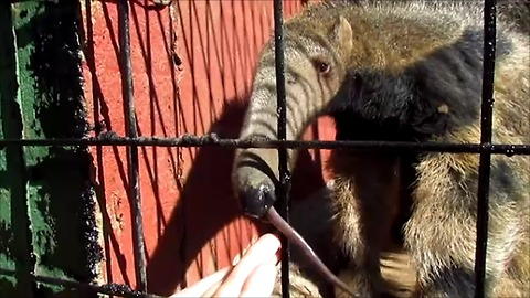 Baby anteater wants to suckle human's fingers