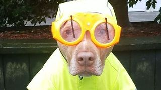 Pup Is Ready for the Rain Thanks to His Snazzy Windshield-Wiper Goggles - Video