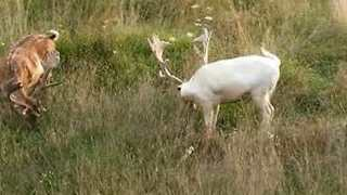 Young White Deer Spotted Near Croatian Village - Video