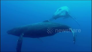 Scuba diving with humpback whales in Hawaii - Video